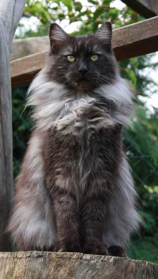 Maine Coon Cats For Sale In Pa
